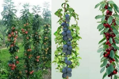 fruit trees columnar duo-V mini plant nursery material Poland